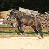 Gorgeous brown welsh cob jumping