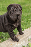 Nice black sharpei puppy