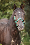 Brown horse with green halter