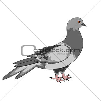 A pigeon on a white background