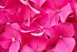 Close-up of a blooming pink Hydrangea.