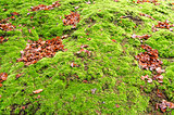 Moss in Netherlands.