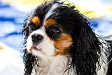 Wet Cavalier king purebreed