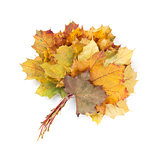 Colorful autumn maple leaves bunch