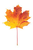 Colorful autumn maple leaf