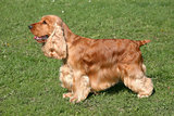 Red English Cocker Spaniel