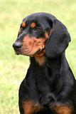 Black Swiss Hound