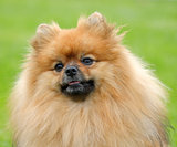Detail of Pomeranian dog