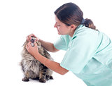 maine coon cat and vet