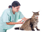 maine coon and vet