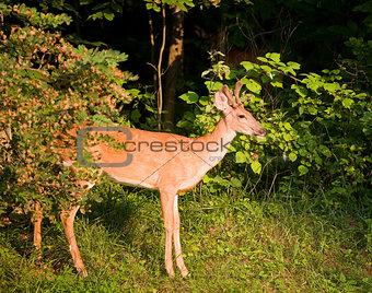 Careful buck