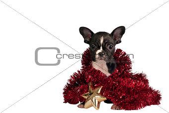 Christmas Bulldog puppy.