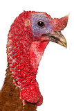 Portrait of Dindon Rouge des Ardennes turkey in front of white background