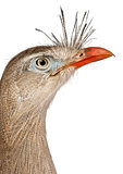 Close up of Red-legged Seriema or Crested Cariama, Cariama cristata, in front of white background