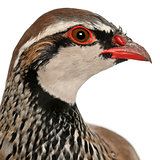 Close up of Red-legged Partridge or French Partridge, Alectoris rufa, a game bird in the pheasant family in front of white background