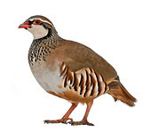 Portrait of Red-legged Partridge or French Partridge, Alectoris rufa, a game bird in the pheasant family, standing in front of white background
