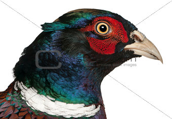 Close up of Male European Common Pheasant, Phasianus colchicus, in front of white background