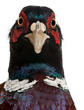 Close up of Male European Common Pheasant, Phasianus colchicus, against white background