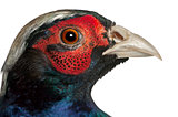Close up of Male American Common Pheasant, Phasianus colchicus, in front of white background