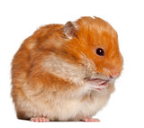 Hamster sitting against white background