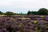 Fields of blossoming heather