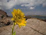 Sunflower rocks