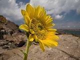 Sunflower rocks