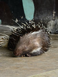 male East Asian Porcupine (Hystrix brachyura)