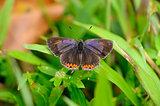 Golden Sapphire butterfly (Hellophorus brahma)