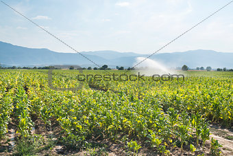 Tobacco plantation and irrigation