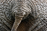 Elephant's tail