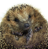 rolled-up hedgehog portrait