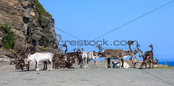 group reindeer a rest