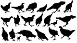 chickens and roosters, silhouettes vector