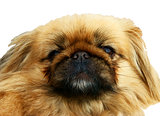 Portrait of a funny Pekinese