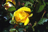 Flowers yellow rose