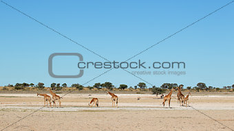 Giraffes at waterhole