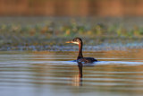 Juvenil Red Necked Grebe
