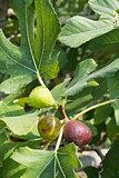 Fig on tree between the leaves