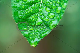 Green leaf and dew