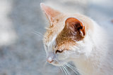 White and ginger Cat