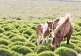 Icelandic horse with her colt