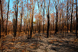 Blackened trees and bushland after bushfire