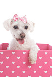 Pretty dog in a pink heart box