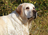yellow labrador portrait in field
