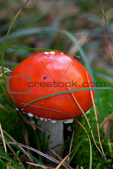 Amanita muscaria mushroom in grass