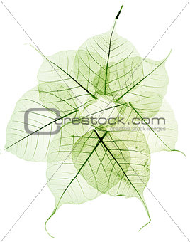 green transparent dried fall leaves