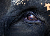 Elephant eye close-up
