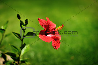 Beautiful red spring flower