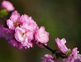 japanese cherry blossom, sakura